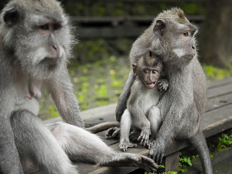Bali Bagus Tour - Monkey Forest